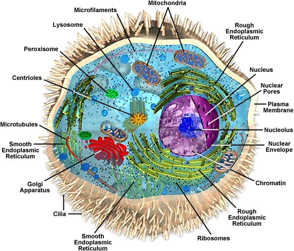 Eukaryotic Animal Cell